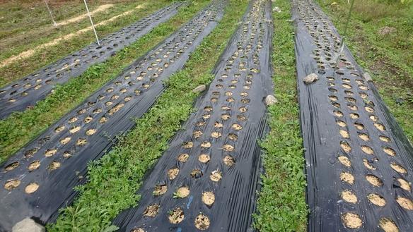 玉葱とニンニクを植えました、