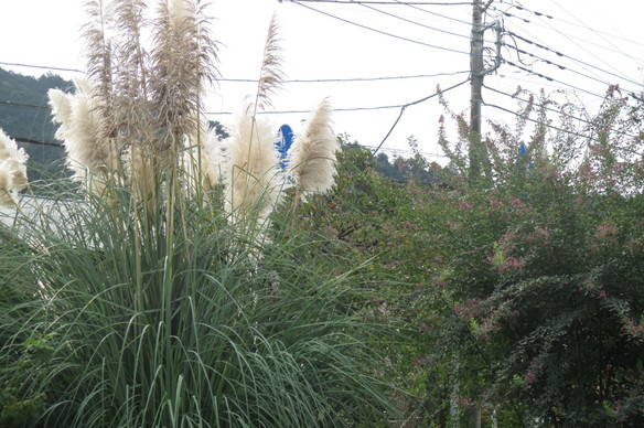 10月~パンパスグラスと萩の花もきれいです~