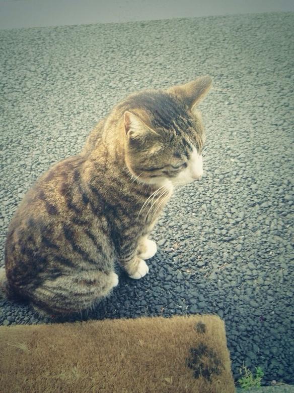 店名の由来になった、近所の鯖トラ柄の猫。