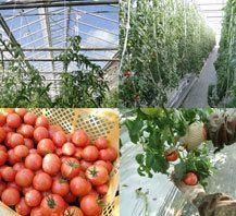 那須塩原ブランドに認定されている「味恋トマト」を筆頭にトマトを専門で栽培するこだわりの農家さん。手間ひまをかけてでも、少しくらいの収穫量が減ってでも、トマトに秘めた生命力を活かし、「環境に優しく」「安心して」「美味しく食べられる」トマトを生産することを目指している方々です。 その味わいは糖度も高く(8〜12度)、トマト本来の旨味も凝縮しています。パリッとした食感も人気です。 なお、7月〜11月は基本的に収穫がないため仕入れることが出来ません。